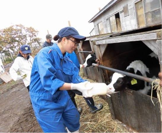 雇用就農で牛に餌を与える女性