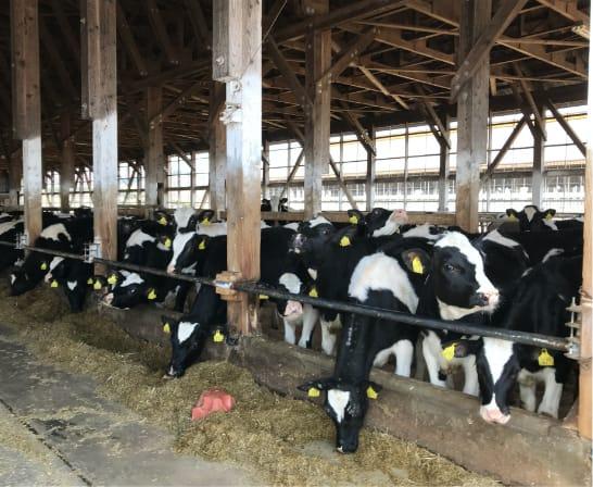 牛舎の牛たち