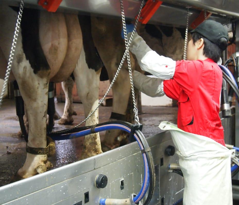 搾乳中の牛と作業をする男性